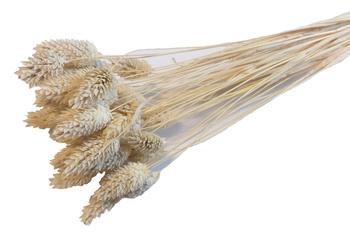 KANAR WYBIELANY pęk XL suszona trawa ozdobna Phalaris canariensis mozga kanaryjska