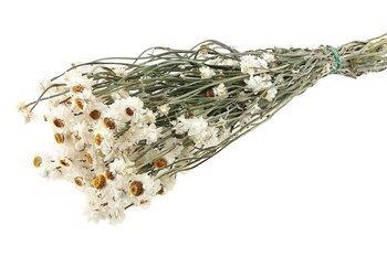 ZŁOCISZEK KOLOR NATURALNY BIAŁY wiekuistka (Ammobium alatum) większy pęczek suszki dekoracyjne kwiaty suszone na bukiety