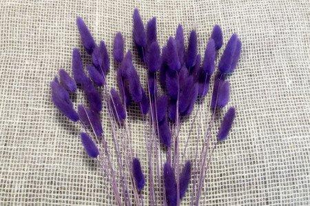 Dmuszek jajowaty  (Lagurus ovatus) kolor fioletowy