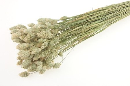 KANAR KOLOR NATURALNY DŁUGI PĘCZEK niebarwiony trawa ozdobna Phalaris canariensis mozga kanaryjska