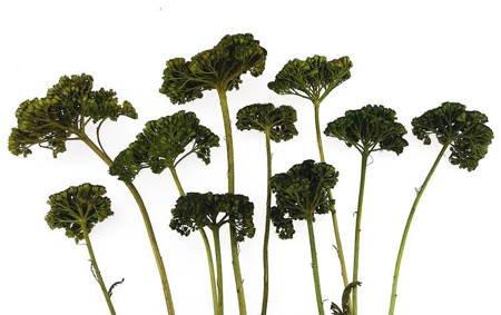 KRWAWNIK KOLOR CIEMNOZIELONY (Achillea) barwiony susz roślinny do dekoracji