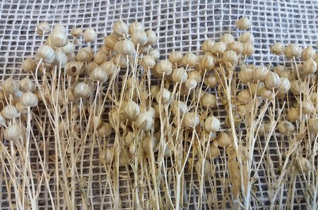 LEN WYBIELANY suszony dodatek florystyczny jasny kolor pęczek 45-50 cm