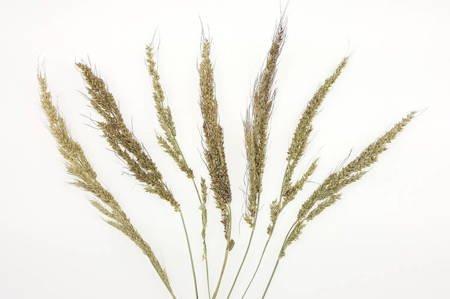 PROSO KOLOR NATURALNY suszony dodatek do stroików i wianków
