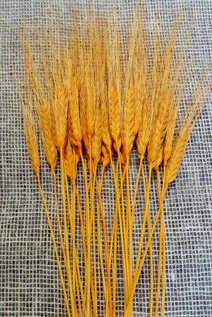 PSZENICA FRANCUSKA KOLOR POMARAŃCZOWY zboże suszone pszenica z włosem kłosy zbóż formy ościstej