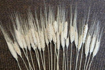 PSZENICA FRANCUSKA WYBIELANA zboże suszone pszenica z włosem kłosy zbóż formy ościstej
