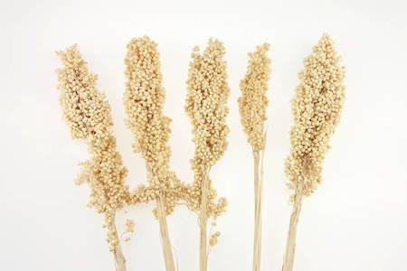 SORGO MILLO KOLOR WYBIELANY 5 szt. Sorghum niebarwiony susz roślinny do dekoracji rośliny na suche bukiety