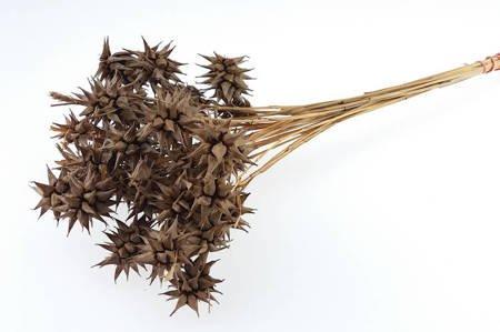 TURZYCA MACZUGOWATA KOLOR CIEMNOBRĄZOWY (Carex grayi) suszki do dekoracji