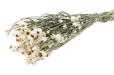 ZŁOCISZEK KOLOR NATURALNY BIAŁY wiekuistka (Ammobium alatum) suszki dekoracyjne kwiaty suszone na bukiety