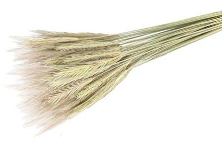 ŻYTO KOLOR NATURALNY zboże suszone niebarwione susz krajowy kłosy zbóż